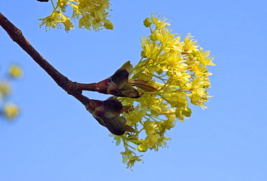Norway maple (Acer platanoides) flowering against blue sky. Surrey, England, UK. March.