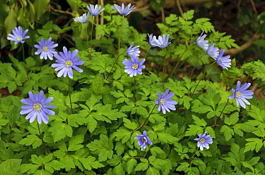 Balkan anemone (Anemone blanda), garden escape naturalised in woodland. Surrey, England, UK. March.