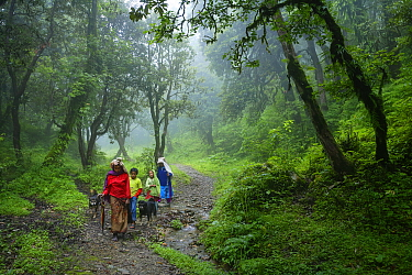 A Nepalese family, flanked by their two Tibetan mastiff dogs, walks along path through the Rhododendron forests at an alttude of 3,000 metres on their way to the village of Ghorepani, during the monso...