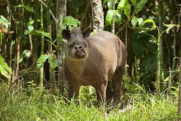 Brazilian tapir (Tapirus terrestris) feeding in forest. In Zoo de Guyane, French Guiana. Captive.