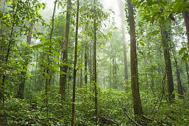 Rainforest in Tresor Regional Nature Reserve, French Guiana.