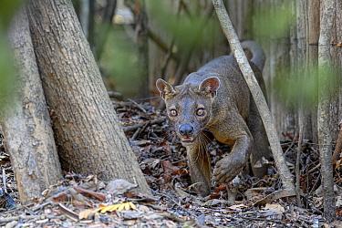 Fosa / Fossa (Cryptoprocta ferox) male in dry decidous forest. Kirindy, western Madagascar. Endangered.