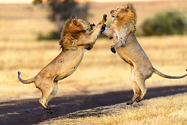 Lion (Panthera leo) males mock fighting / play fighting. Ngorongoro Crater, Ngorongoro Conservation Area (NCA), Tanzania.