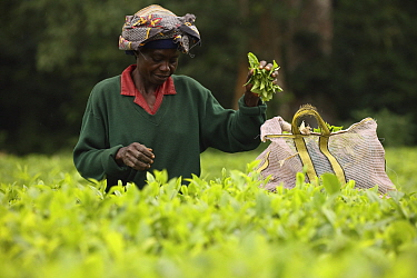 Tea picker in tea plantation at edge of Kakamega rainforest, tea plantation used as a buffer to protect forest. Kenya. 2017.