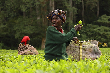 Tea pickers in tea plantation at edge of Kakamega rainforest, tea plantation used as a buffer to protect forest. Kenya. 2017.