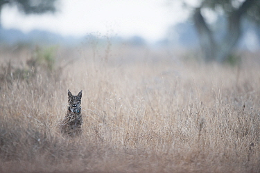 Iberian lynx (Lynx pardinus), Donana National Park, Spain.