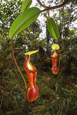 Pitchers of a Splendid pitcher plant (Nepenthes edwardsiana) in the cloud forest of Mount Kinabalu, Borneo. Endemic.