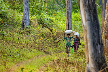 Local man and woman carrying harvest on head along forest track, Western Ghats, India.