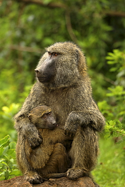 Olive baboons (Papio anubis) female and young, Mt. Elgon National Park, Kenya