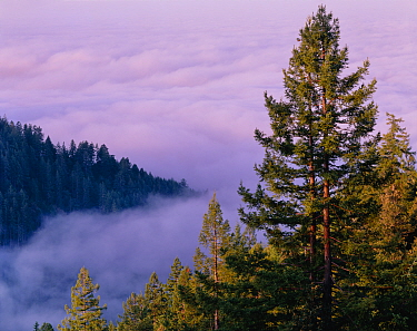 Fog at sunrise over Anderson Creek drainage with Sinkyone Intertribal redwoods (Sequoia sempervirens) in foreground. California, USA>