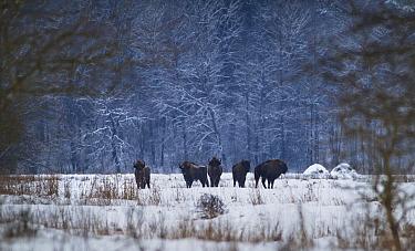 European Bison (Bison bonasus) in winter, Bialowieza National Park, Poland. January.