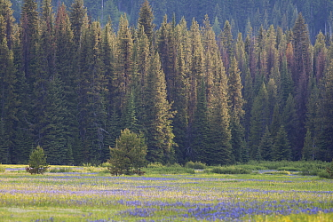 Summer meadow surrounded by forests in Montana, USA. July.