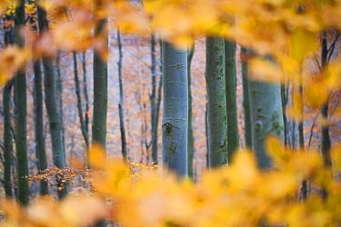 Colourful leaves of Beech trees (Fagus sylvatica) in autumn. Owl mountains, Poland. November.