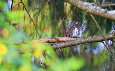 Eurasian pygmy owl (Glaucidium passerinum), perched on branch in autumn, Bieszczady Mountains, Poland. September.