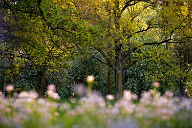 Oak trees (Quercus robur) in spring. Wroclaw, Poland. April.