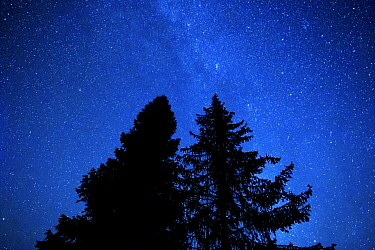 Pine and fir trees at night with the Milky Way and stars in the sky. Bieszczady Mountains, Poland. September.