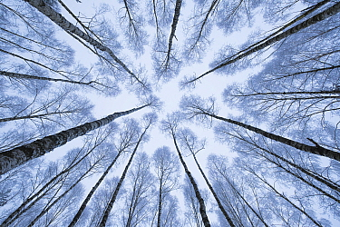 Wintery forest of Silver Birches (Betula pendula) photographed from below with a wide angle lens. Bialowiela National Park, Poland. January.