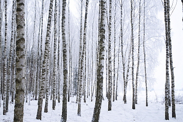 Wintery forest of Silver Birches (Betula pendula) Bialowiela National Park, Poland. January.