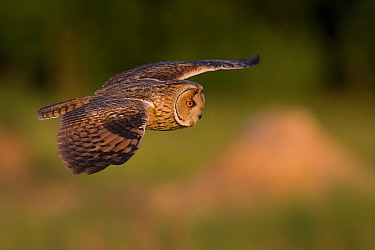 Long-eared owl (Asio otus) flying over the meadow near the forest, Dolny Slask, Poland. May.