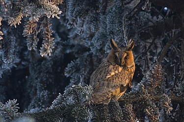 Long-eared owl (Asio otus) sitting on a frozen spruce tree in winter. Wroclaw, Poland. February.