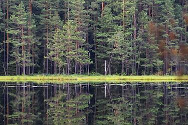 Old Pine (Pinus) forest in Wigierski National Park, Poland. July.