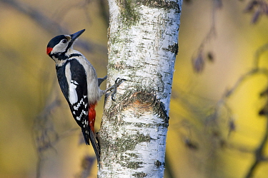 Great spotted woodpecker (Dendrocopos major) foraging on a birch in early spring. Wroclaw, Poland. March.