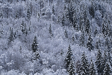 Winter forest covered in snow and frost, aerial view. Lofer, Austria. February.