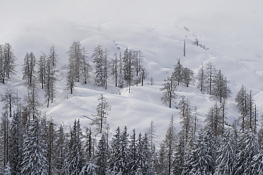 Larch trees (Larix) in winter in mountain, aerial view, Austria. February.