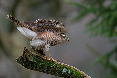Eurasian sparrowhawk (Accipiter nisus) after landing on a mossy perch. Wroclaw, Poland.