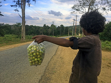 Tribal boy selling he picked from the forest, gooseberries to tourists and passer-by's. Karnataka, India. December 2020.