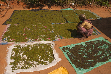 Elderly woman lays out pepper to dry in the hot sun. Western Ghats, India. Grown in local forests.
