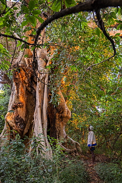 Man looking at Sycomore fig (Ficus sycomorus) in church forest. Church forests remain largely intact within a degraded landscape as they are considered sacred. Near Chimba, Ethiopia. 2018.