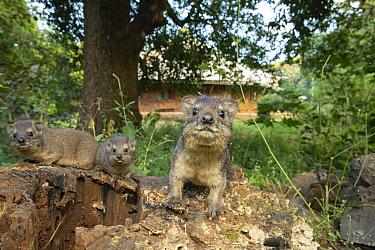 Bush hyrax (Heterohyrax brucei), three on tree stump in church forest. Wonchet Michail Church, near Hamusit, Ethiopia. 2018.