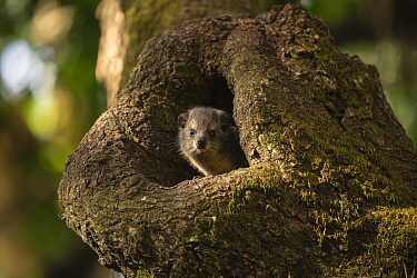 Bush hyrax (Heterohyrax brucei) peering out of tree hollow. Wonchet Michail Church forest, Ethiopia.