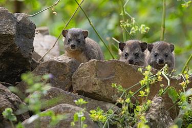 Bush hyrax (Heterohyrax brucei), three peering over rocks. In church forest of Wonchet Michail Church, Ethiopia.