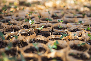 Coffee (Coffea arabica) seedlings in tree nursery. Near Hamusit, Ethiopia.