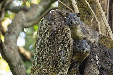 Bush hyrax (Heterohyrax brucei), two in tree. Wonchet Michail Church near Hamusit, Ethiopia.