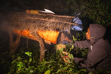 Man using smoke to calm bees while collecting honey from beehive. Zege, Zege Peninsula, Ethiopia. 2018.