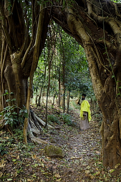 Priest examining vegetation in church forest on Tana Kirkos. Church forests are forest fragments surrounding orthodox churches, remaining intact in a largely deforested landscape as they are considere...