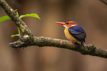 Malachite kingfisher (Corythornis cristatus) perched on branch. Near Chimba, Ethiopia.