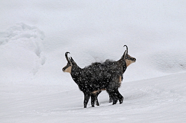 Two Chamois (Rupicapra rupicapra) in snow, Gran Paradiso National Park, Italy.