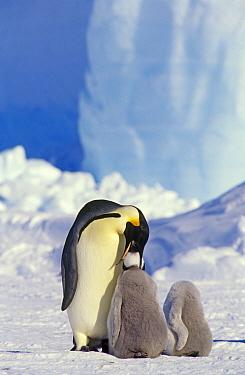 Emperor penguin (Aptenodytes forsteri) parent feeding chick, another chick next to it looks headless, Antarctica