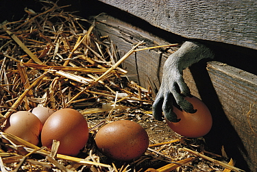 Paw of Raccoon (Procyon lotor) stealing hen egg from chicken coop. Introduced species. Germany.