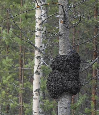 Eurasian aspen (Populus tremula) tree trunk with swollen burr growth. Jyvaskyla, Finland. April.