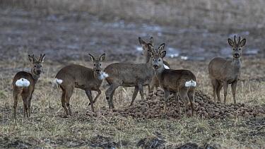 Roe deer (Capreolus capreolus) herd eating potatoes. Oittila, Finland. April.