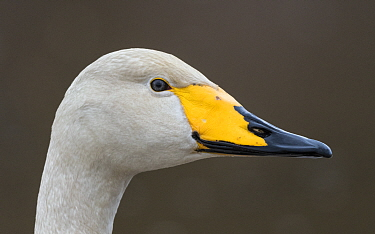 Whooper swan (Cygnus cygnus) head profile portrait. Puuppola, Finland. April.