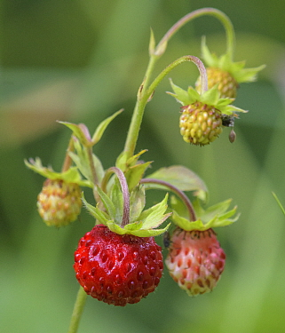 Wild strawberry (Fragaria vesca). Jyvaskyla, Finland. July.