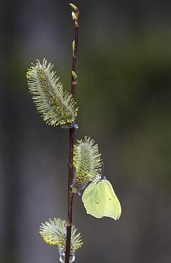 Brimstone butterfly (Gonepteryx rhamni) male nectaring on Goat willow (Salix caprea) catkins. Jyvaskyla, Finland. May.