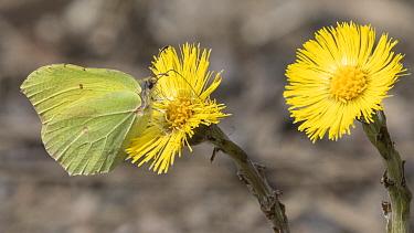 Brimstone butterfly (Gonepteryx rhamni) male nectaring on Coltsfoot (Tussilago farfara). Jyvaskyla, Finland. May.
