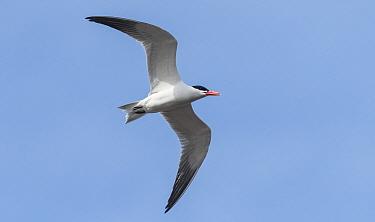 Caspian tern (Hydroprogne caspia) in flight. Kikkosalmi, Finland. May.